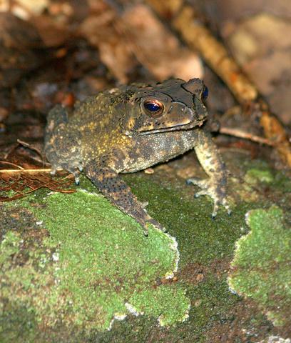 Frog on Kandalama Rock trail
