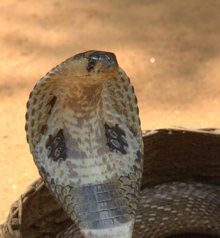 Wrong end of cobra