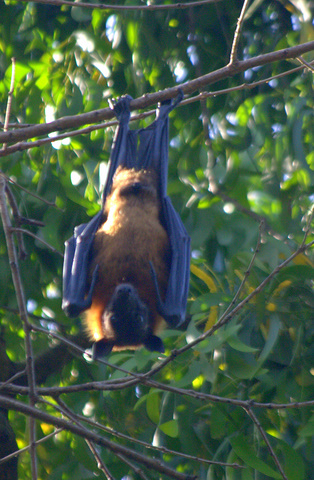 Fruit bat AKA flying fox