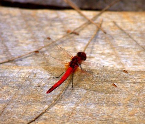 dragon fly, St. Andrew's Hotel, Nuwara Eliya