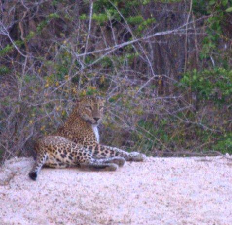 leopard, Yala NP
